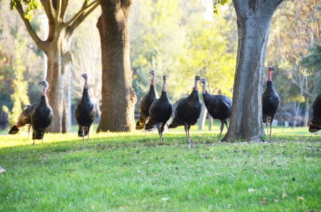 Fun, geeky turkey facts for the Thanksgiving dinner table